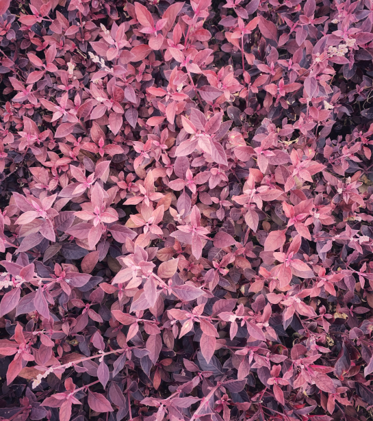 roze blaadjes